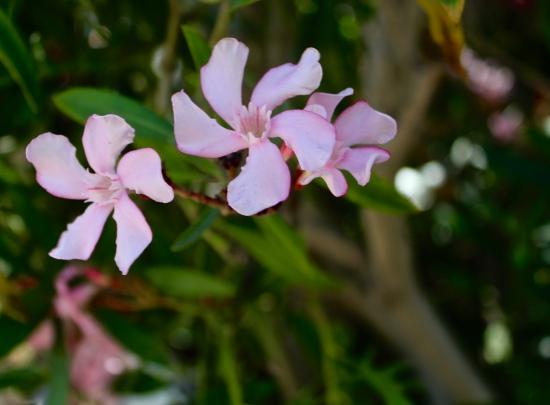 Slight Charm Oz Flower 4