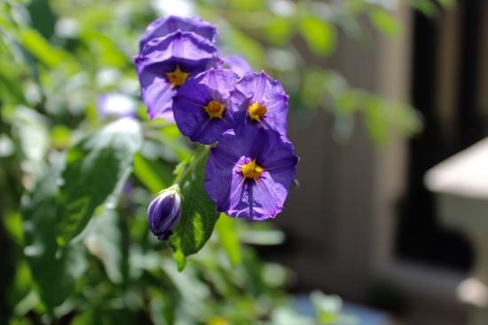 Slight Charm Oz Flower 2