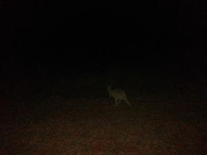 Slight Charm Exmouth Awe 2 Kangaroo